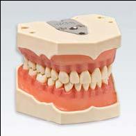 口腔保健模型